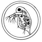 カイミジンコの種類と大きさは?大量発生する理由とその駆除方法は!メダカの餌になる?